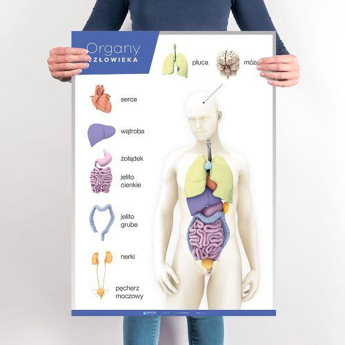 Organy Czlowieka Anatomia Czlowieka Planszedydaktyczne Pl