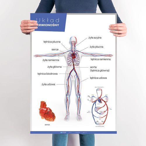 Uklad Krwionosny Anatomia Czlowieka Planszedydaktyczne Pl